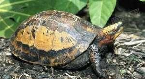 闭壳龟和其他龟类的区别
